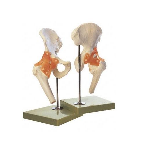 【送料無料】 模型Human Model 股関節機能模型 35×20×18cm 1.25kg ソムソ